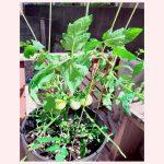 トマトの成長記録④ ~支柱を立てる~