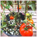 トマトの成長記録⑧ ~第二実り期~